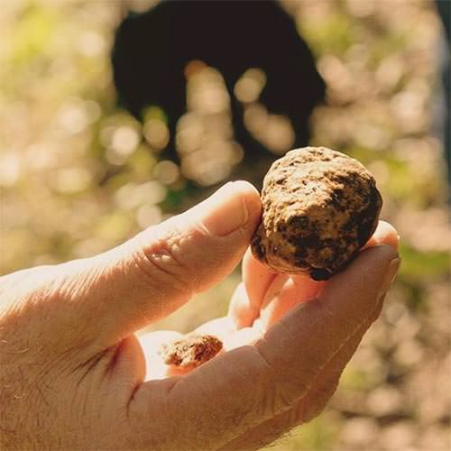 Truffle hunting San Miniato